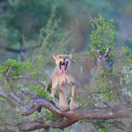 Lion Cub by Diane Rogers Jones - Novices Only Wildlife