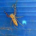 Aussie Bronze Jumper/Threatening Jumping Spider(Female)