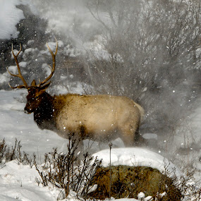 At Home in the Elements by AJ Schroetlin - Animals Other Mammals ( cold, elk, snow, colorado, bull elk, aj schroetlin )