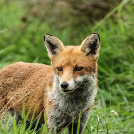Red Fox by Garry Chisholm - Animals Other Mammals ( canine, garry chisholm, nature, wildlife, mammal, red fox )