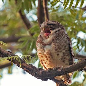 ahh too sleepy folks by Praveen Premkumar - Animals Birds ( calm, amazing, life, nature, owl, sleep )