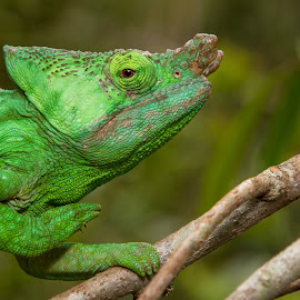 Male Parson's Chameleon by Steve Bulford - Animals Reptiles ( look, expression, face, park, superior, scales, green, male parson's chameleon, horn, chameleon, rainforest, madagascar, climbing, endemic, understorey, calumma parsonii, steve bulford, grasping, head, reptile, parsonii, nose, parc mitinjo, eyestare, eye )