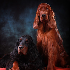 Rohan teaches Misty the ropes in the studio by Ken Jarvis - Animals - Dogs Portraits ( studio, gordon setter, dogs, irish setter, dog portraits )