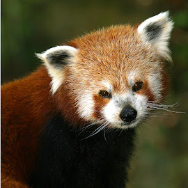Red panda by Gérard CHATENET - Animals Other Mammals