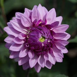 by Janet Marsh - Flowers Single Flower ( purple, dahlias,  )