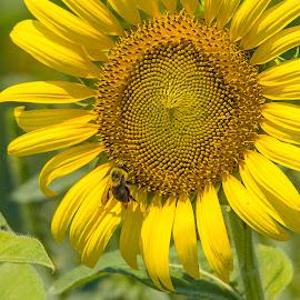 Bee & Sunflower by Jay Stout - Flowers Single Flower (  )
