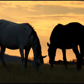 Silouette by Romano Volker - Animals Horses