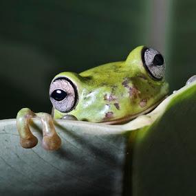 katak by Mbah Gatot Nugroho Susanto - Animals Amphibians