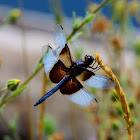 Dragonfly - Widow Skimmer