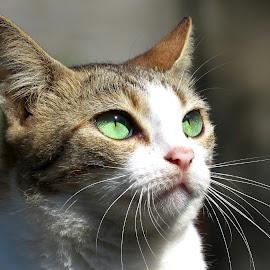 Kitty's Sharp Look by Gayan Mettananda - Animals - Cats Portraits ( cat )