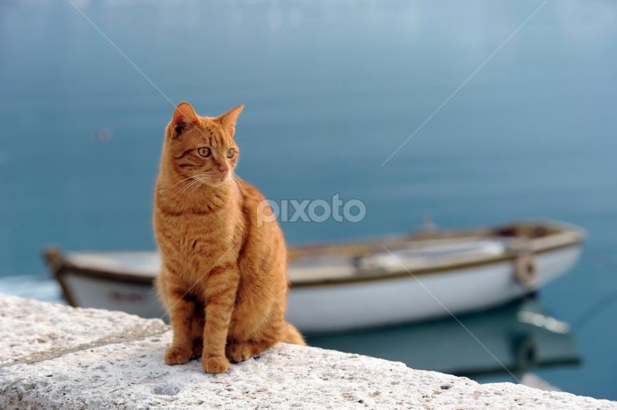 Yellow Cat........ by Aleksandar Kordic - Animals - Cats Portraits ( cat-perast-sea-montenegro )