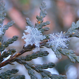 Snowflakes by Valentina Masten - Nature Up Close Other Natural Objects