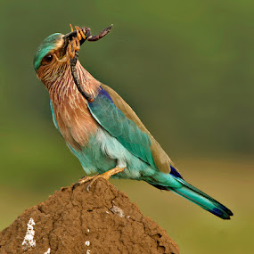 INDIAN ROLLER by Subramanniyan Mani - Animals Birds ( bird, nature, scorpion, wildlife, indian roller )