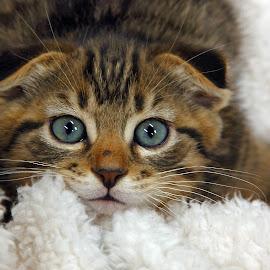 Sweet Baby by Pam Mullins - Animals - Cats Kittens ( love, cat, kitten, pet, kitty, mammal, soft )