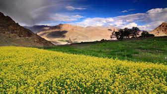 mustard-fieldsladakh