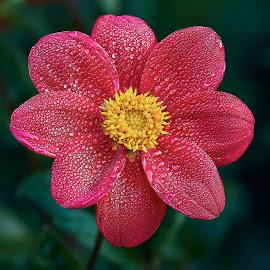 Dahlia 8676~ by Raphael RaCcoon - Flowers Single Flower