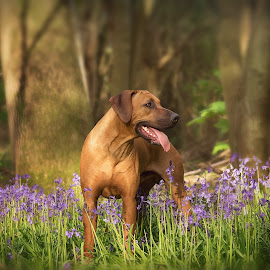 Playing in Bluebells by Linda Johnstone - Animals - Dogs Portraits ( pet photography, rhodesian ridgeback, dogs, nature, brown dog, trees, bluebells )