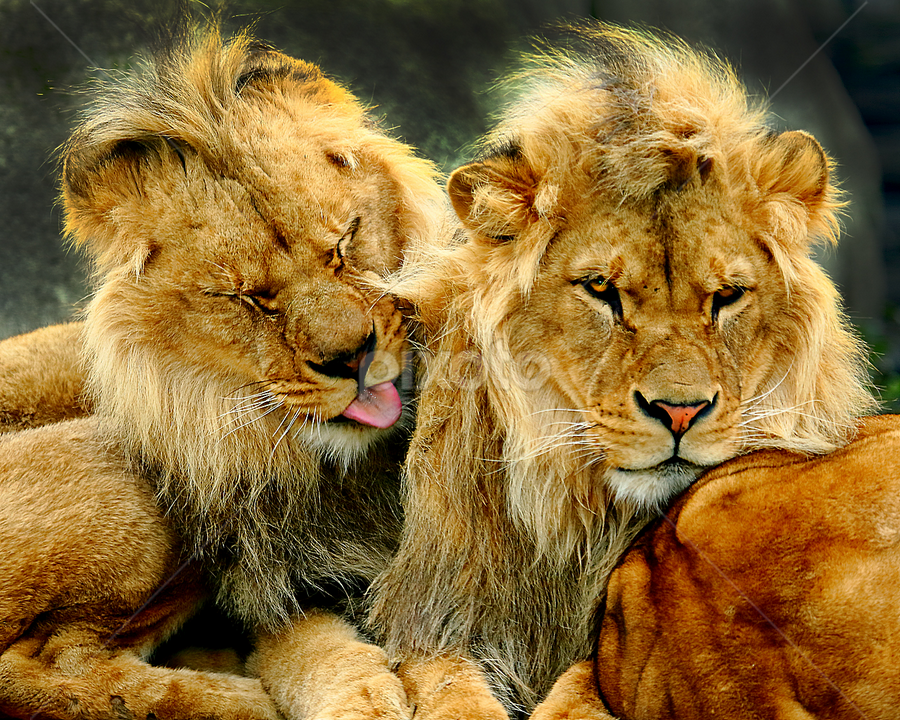 Le repos des guerriers by Gérard CHATENET - Animals Lions, Tigers & Big Cats