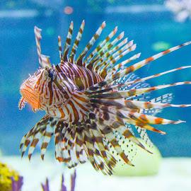 Lion Fish by Cory Bohnenkamp - Animals Fish ( water, fish, rock fish, fins, animal )