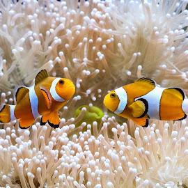 Symbiosis by Bernard Tjandra - Animals Fish