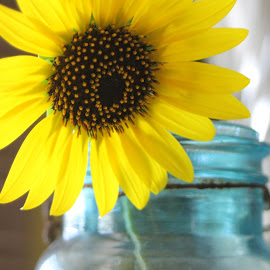 Sunflower Splash by Ted and Nicole Lincoln - Uncategorized All Uncategorized ( mason jar, glass, sunflower, yellow, yellow flower, flower )