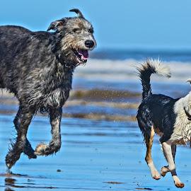 by Simon Barrassy - Animals - Dogs Running (  )