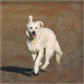 BEACH DOGS 001 by Wayne Brown - Animals - Dogs Running ( water, sand, devon, funny, sea, beach, fun, labrador, running, labrador retriever, playing, air, dog, walk )