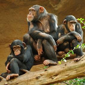 Family by Tomasz Budziak - Animals Other Mammals ( animals, family, monkey,  )