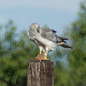 Northern Harrier (male)