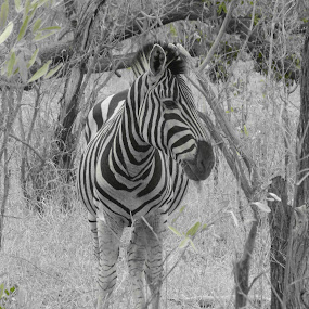 Kruger National Park by Kirsty Wilkins - Novices Only Wildlife ( kruger national park, zebra )