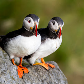 Puffin by Dennis Hallberg - Animals Birds ( puffin )