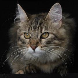 Focus by Roxana Caruceriu - Animals - Cats Portraits