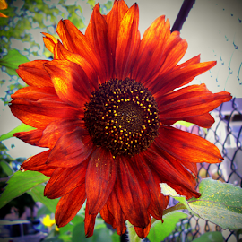 BURNT ORANGE by William Thielen - Novices Only Flowers & Plants ( fence, p-patch, urban, orange, seattle, burnt, sunflower, brown, gold, yellow )