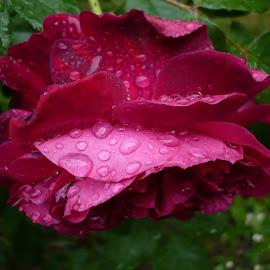 rain drops on flowers by Drago Ilisinovic - Novices Only Flowers & Plants