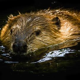 Beaver Swim by Julie Wooden - Animals Other ( water, billings, wildlife, spring, swimming, portrait, mammal, nature, montana, outdoors, pond, animal, enviromental portrait )