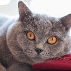 Tibo by Daniel Chobanov - Animals - Cats Portraits ( cat, lazy, portrait, bulgaria, eyes )