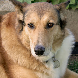 Daisy by Brian Lymer - Animals - Dogs Portraits ( collie, german shepherd, dog, posing, coat )
