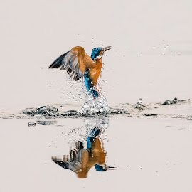 KINGFISHER by SUDIPTA  CHAKRABORTY - Animals Birds ( kingfisher, india, birds, bird photography, bird in flight )