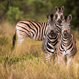 by Dawie Nolte - Animals Other ( tree, black and white, eye patches, ears, stripes, eyes, zebras )
