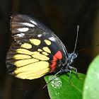Redbase Jezebel Butterfly