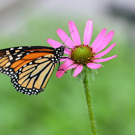 Butterfly on Pink Flower 1 by Kurt Bailey - Animals Insects & Spiders