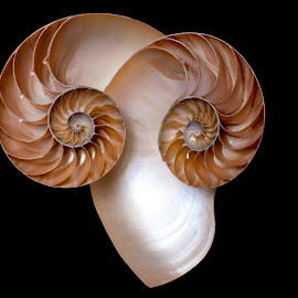 ram by Adjie Tjokrosoedarmo - Artistic Objects Still Life ( ram, sea, nautilus, seashells, beach )