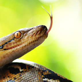 Reticulatus by Kenang Lahar Jingga - Animals Reptiles ( snake, phyton reticulatus, ular, reptile )