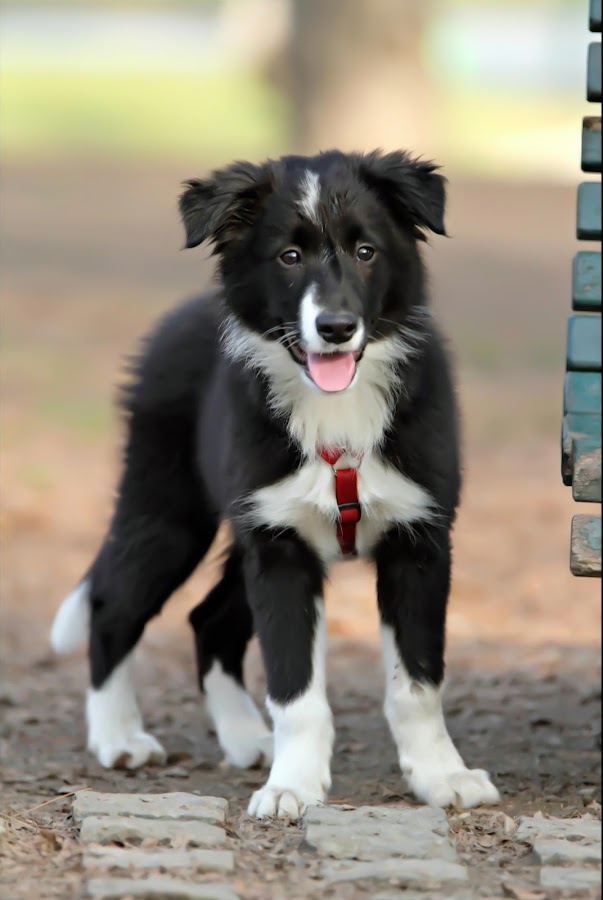 Border collie by Alessandra Cassola - Animals - Dogs Puppies ( border colly, puppy, baby, dog )