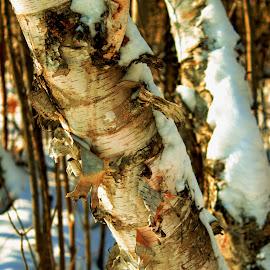 Snowy birch by Glenda Clausen - Landscapes Forests ( birch, bark, snow, trees, peeling )