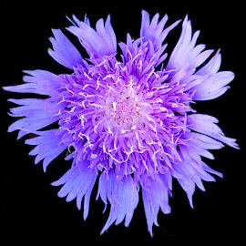 purple beauty by SANGEETA MENA  - Flowers Single Flower