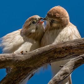 by Brent McKee - Animals Birds ( bird, 2017, paradise farm, bird of prey, australia, kite, nankeen (australian) kestrel, fledgelings, raptor, wa, esperance, western australia )