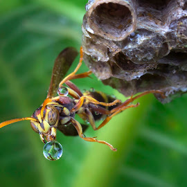 Wasp Blowing Bubble by Tan Tc - Animals Insects & Spiders ( wasp, macro photography, bubbles, insects, close up )