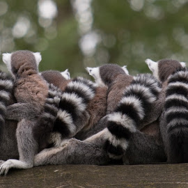 ring-tailed lemur by Twan Konings - Animals Other ( ring-tailed lemur, zoo, frendship, embrace, together, animal )