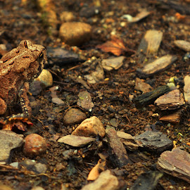 Toad by Michele Kelley - Novices Only Wildlife ( animals, nature, novices only, nature up close, wildlife )